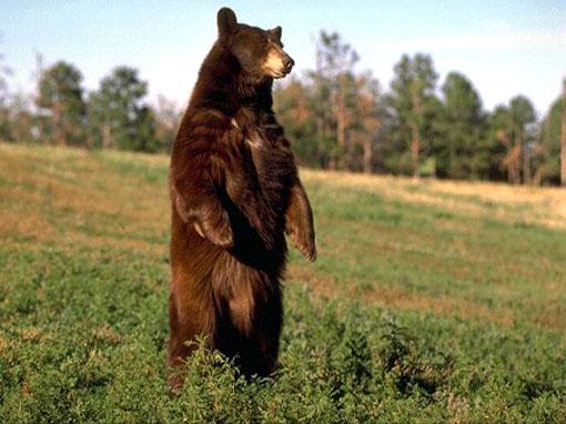 urso-pardo